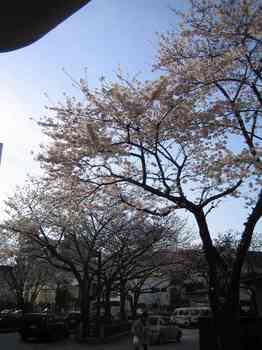 01桜(北区役所).jpg