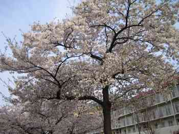 04桜.jpg