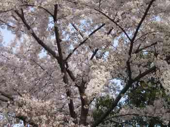08桜.jpg