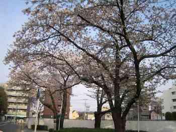 09桜.jpg