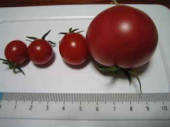 tomato_04.jpg