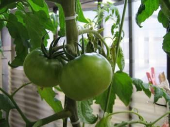 トマト01.jpg
