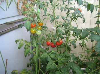 tomato_02-ピコ-.jpg